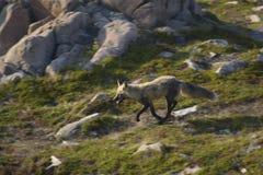 Fox на беге Стоковая Фотография