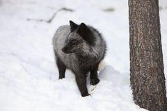 Fox портрета серебряный Стоковая Фотография