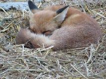 Fox стоковые фотографии rf