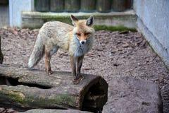 Fox стоя на стволе дерева Стоковое фото RF