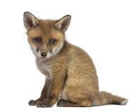 Fox崽(7个星期年纪)开会 免版税库存图片