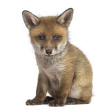 Fox崽(7个星期年纪)开会 免版税图库摄影