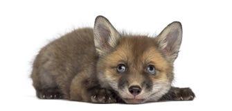 Fox崽(7个星期年纪)说谎 图库摄影