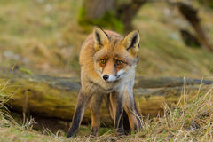 Fox (狐狸狐狸) 免版税库存照片