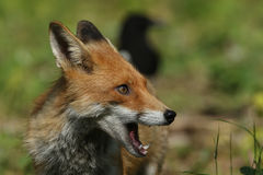 Fox & x28; 狐狸vulpes& x29; 免版税库存照片
