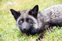 Fox. A wild fox lying in the grass Stock Image