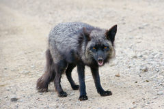 Fox. A wild fox standing on road Royalty Free Stock Photo