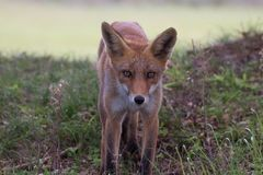 Fox 3 Photos libres de droits