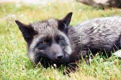Fox. A wild fox lying in the grass Stock Photo