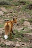 Fox Photo stock