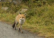 Fox. Hunting photo in national park 'Gran Paradiso' (Nivolét mountain, Italy Stock Photos