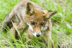Fox Stock Photo