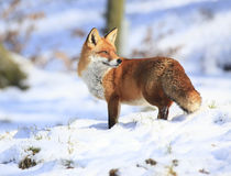 Fox Fotografie Stock