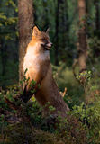 The Fox. The disturbed fox with watchfulness has stopped and listens to rustles Stock Photography