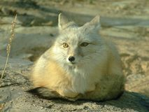 Fox Imagen de archivo libre de regalías