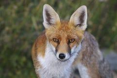 Fox Stockbild
