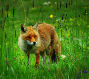 Fox. A red eyed fox into the wild Stock Images