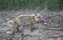 Fox Fotografia Stock Libera da Diritti
