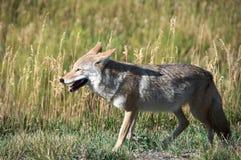 Fox Photographie stock libre de droits