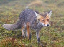 Fox Lizenzfreie Stockbilder