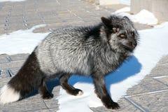 Fox Image libre de droits