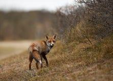 Fox Zdjęcia Stock