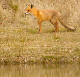 A fox. In it's natural habitat Royalty Free Stock Photos