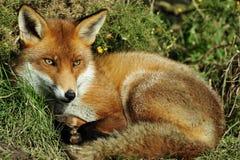 Fox Stockfotografie