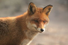 Fox Stockbilder