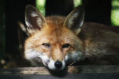 Fox Lizenzfreie Stockfotos