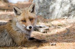 Fox. Gran Paradiso in italian Alps stock images