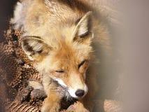 Fox fotografía de archivo