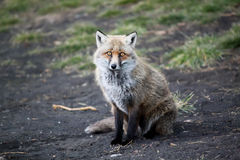 Fox Photo libre de droits