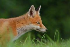 Fox Fotografie Stock Libere da Diritti