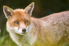 Fox 库存图片