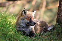 Fox Fotos de archivo libres de regalías