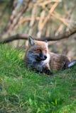 Fox Fotografía de archivo libre de regalías
