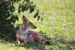 Fox Fotografia de Stock Royalty Free