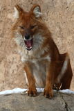 Fox. This smart fox is singing in the stone stage Stock Photo