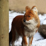Fox. The little fox is hiding behind woods royalty free stock images