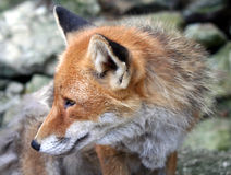 Fox 4 Photographie stock
