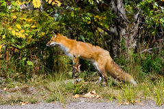 Fox Foto de Stock Royalty Free