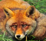 The Fox. A fox lying curled in the grass Royalty Free Stock Image