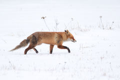 Fox走 库存图片