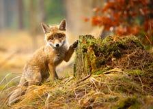 Free Fox Royalty Free Stock Photography - 89277857