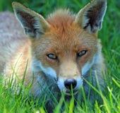 Fox foto de stock
