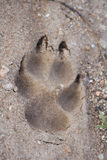 Fox-Abdruck stockbilder