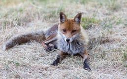 Fox , abruzzi, Italy Royalty Free Stock Photos