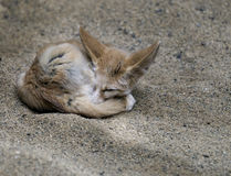 Fox africano de Fennec Imagen de archivo libre de regalías