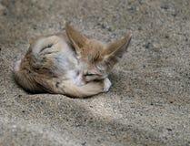 Fox africano de Fennec Imagem de Stock Royalty Free